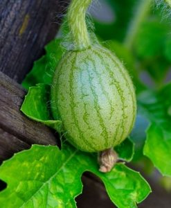 young watermelon growing