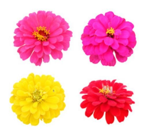 zinnia flower seeds