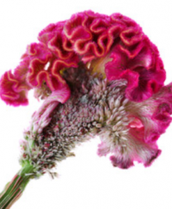 Feathered Celosia