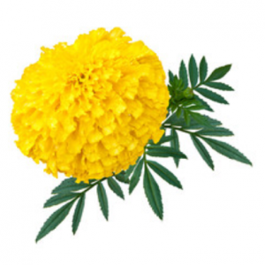 yellow marigold seeds