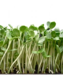 sunflower sprouting microgreens