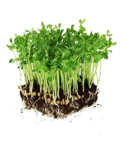 pea shoots microgreen seeds