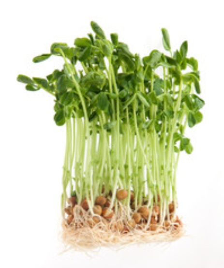 pea microgreens seeds