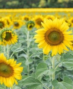 sunflower seeds for planting soon huat seeds malaysia