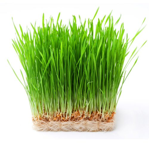 microgreen wheatgrass seeds