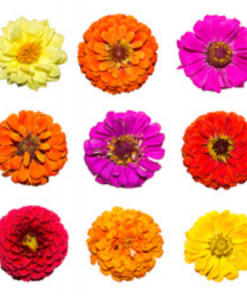 zinnia mix seeds