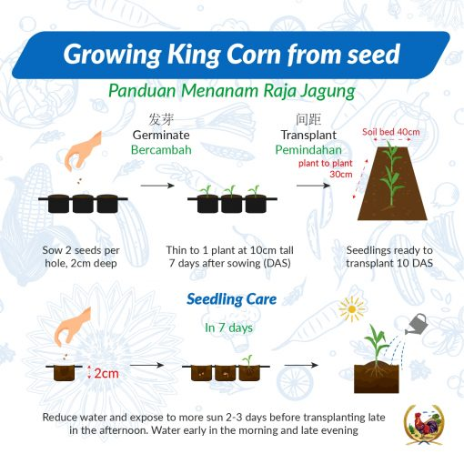 Growing King Corn from Seeds