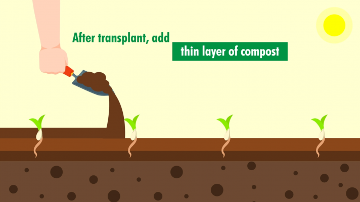 after transplant, add thin layer of compost