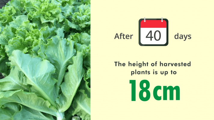 height of harvested plants is up to 18cm