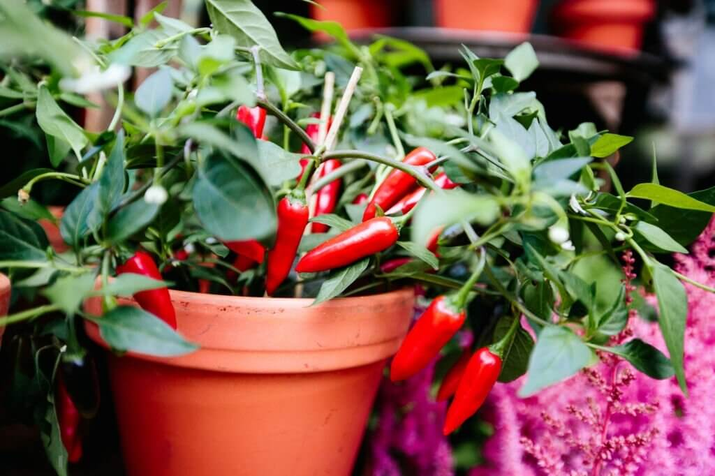 Chili plant in a pot maintenance and care