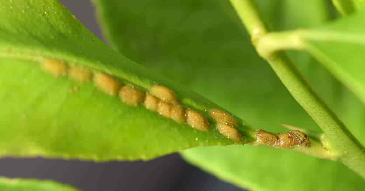 Scale Insects on papaya trees