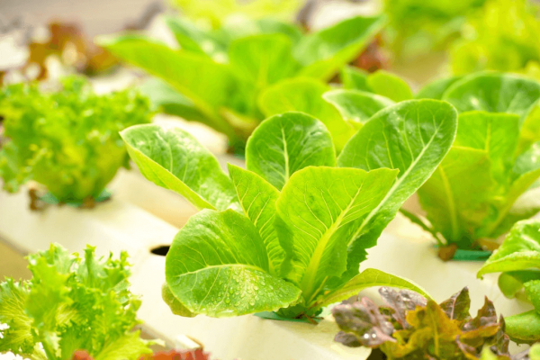 how to plant lettuce seeds