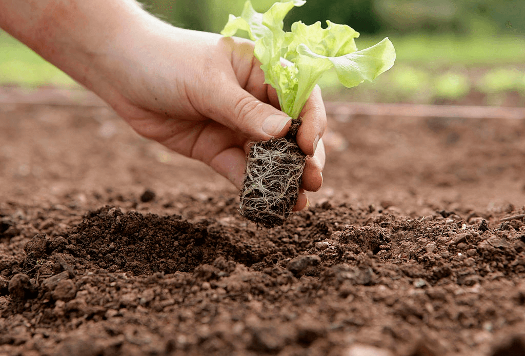planting lettuce in soil