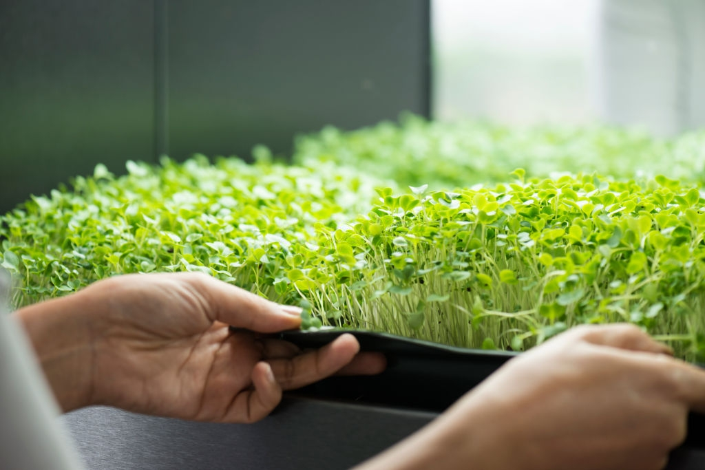 Questions About Growing Microgreens