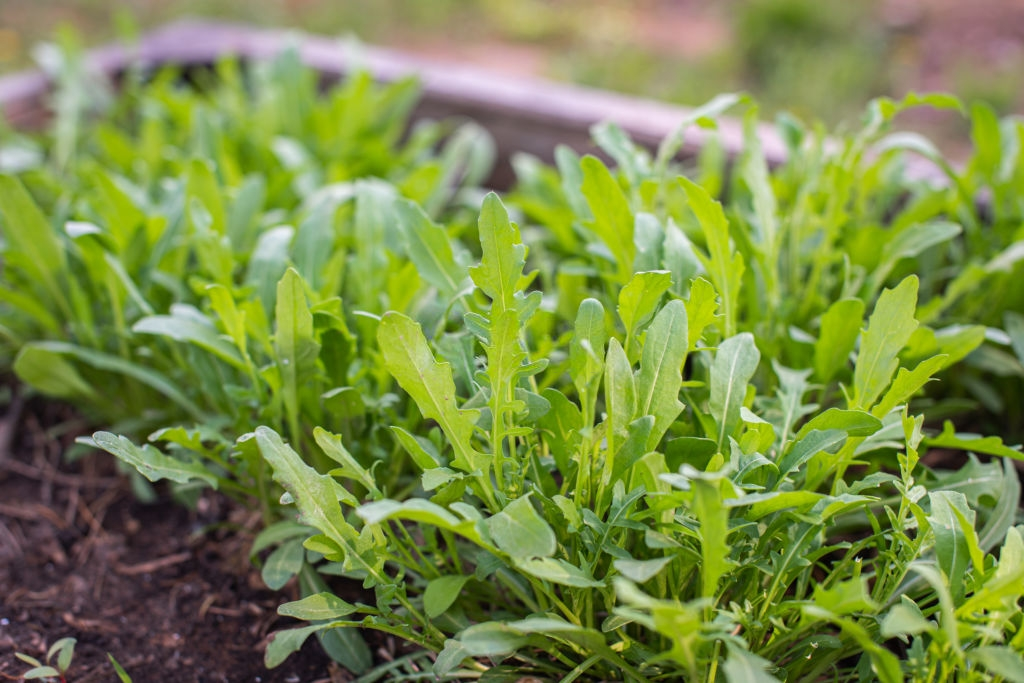 Vegetables to grow at home : Arugula