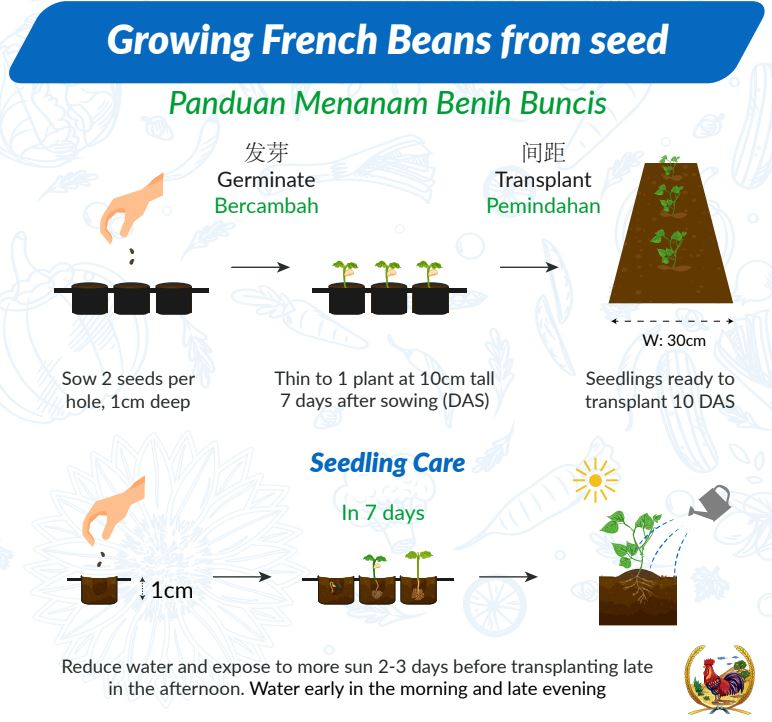 planting french bean seeds