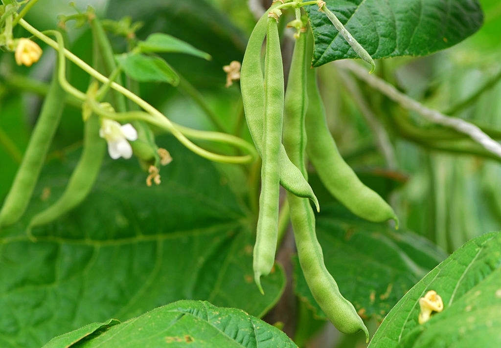french beans growing on plant