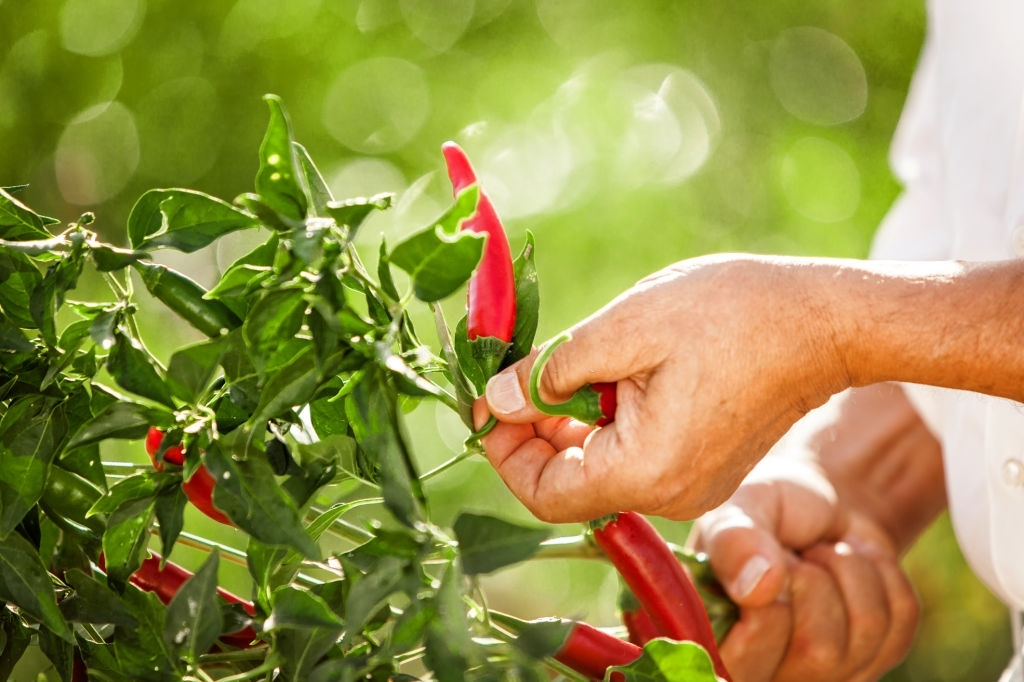 Pruning chilli plant for maximum yield