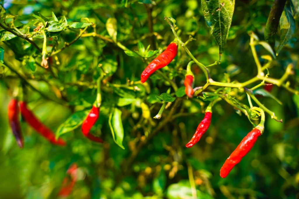 red Chilli plans that are not fruiting