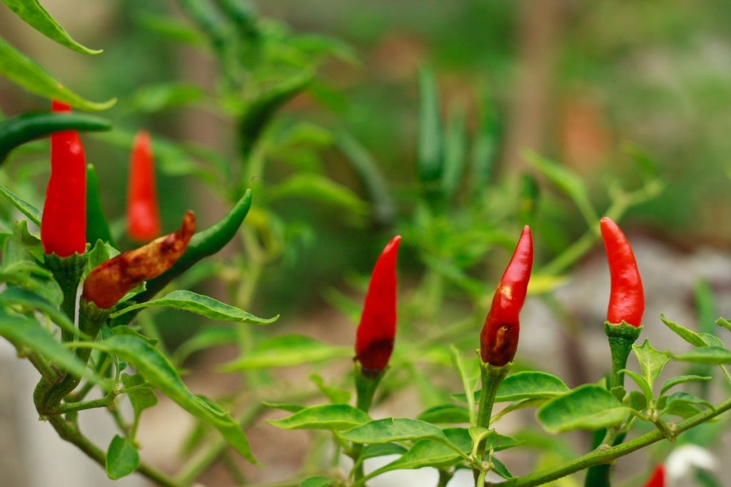 Chilli plans that are not fruiting