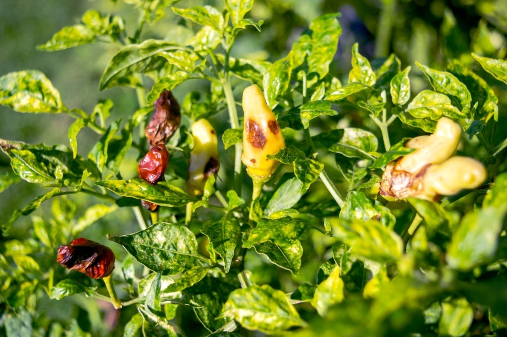 Chilli Plant Pests