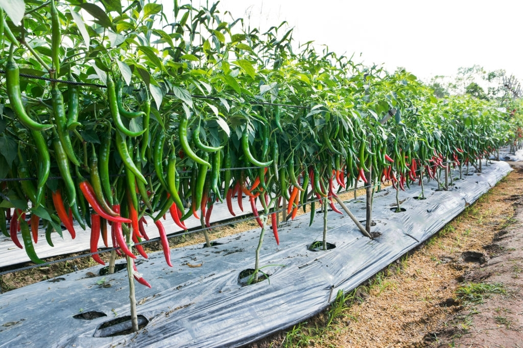 How To Grow Hot And Spicy Chillies