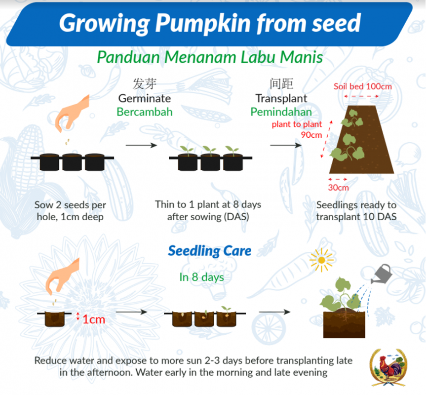 steps to grow pumpkin from seed infographic